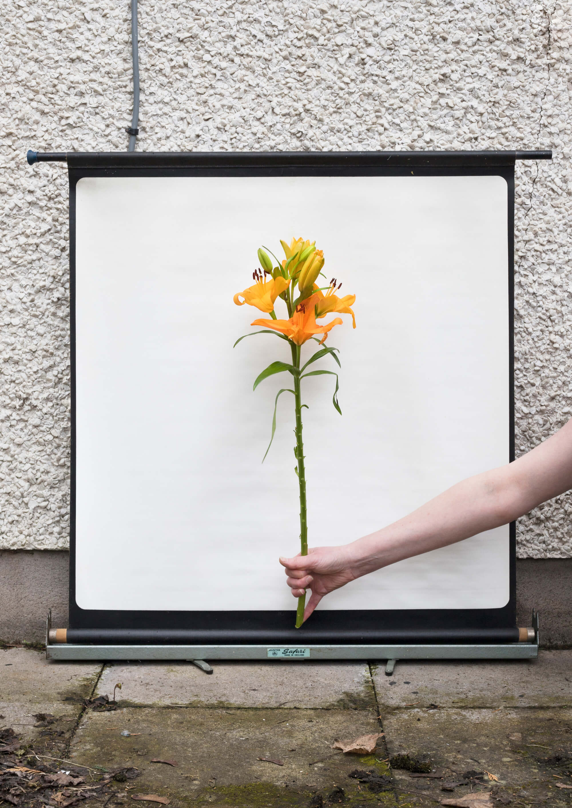 man holding up yellow flowers on a white background in garden on the south west collective of photography