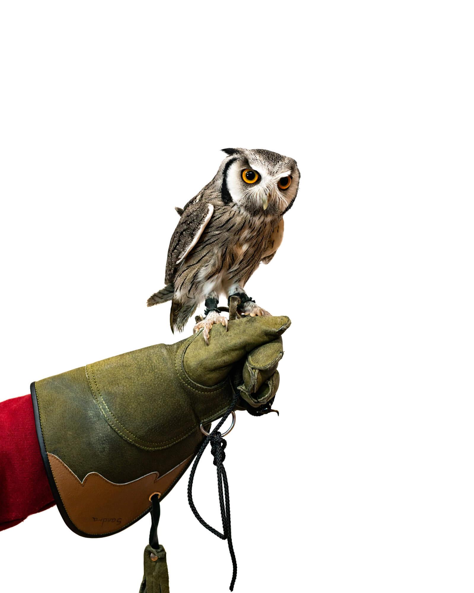 Owl on white background torbay owl club