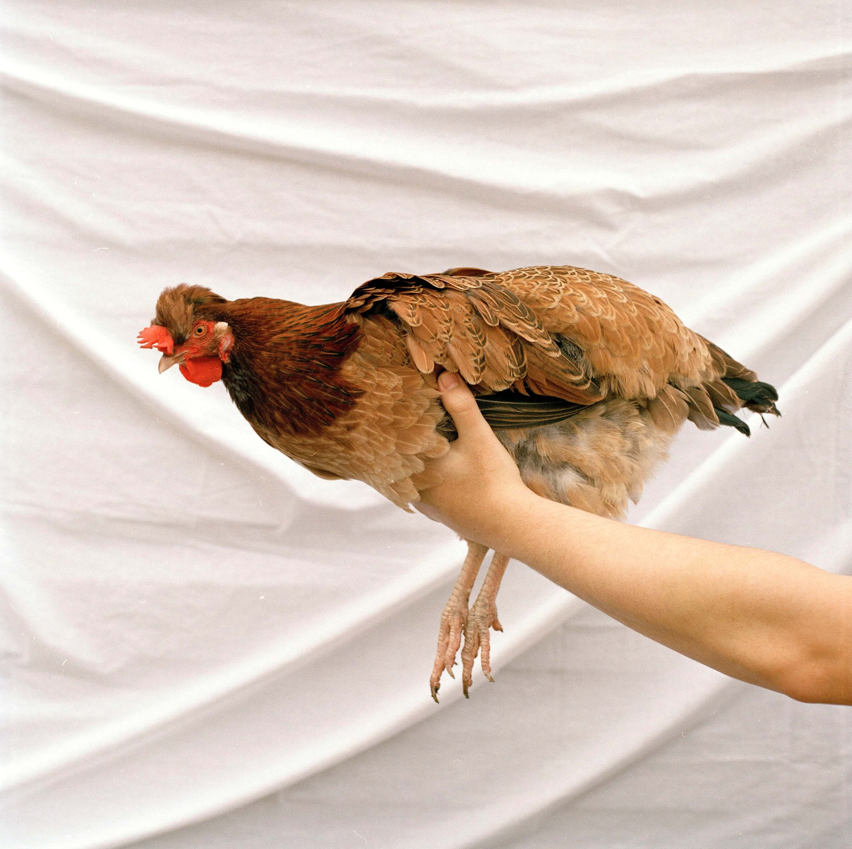 Jess Keatley the south west collective of photography ltd chicken against white background