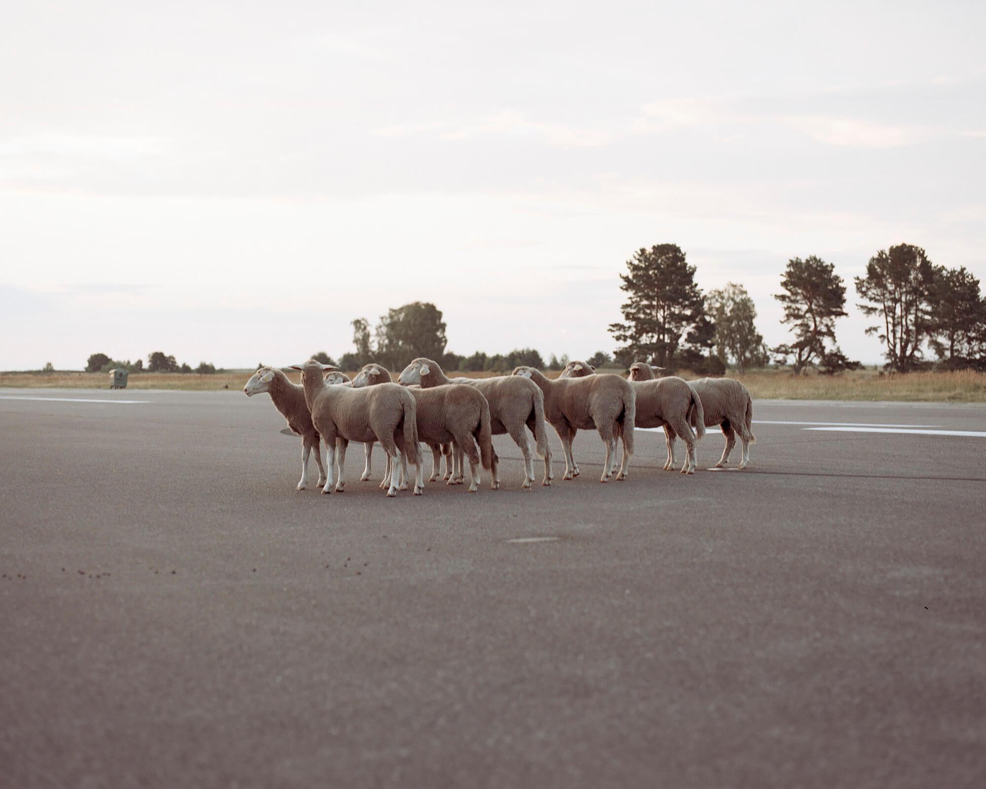 Tadas Kazakevicius - Between Two Shores sheep in the road