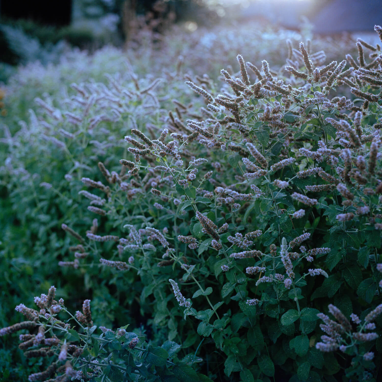 Kadri Otsiver - Ta aed on tema nägu (Her garden has her face) Close up of lavender bush