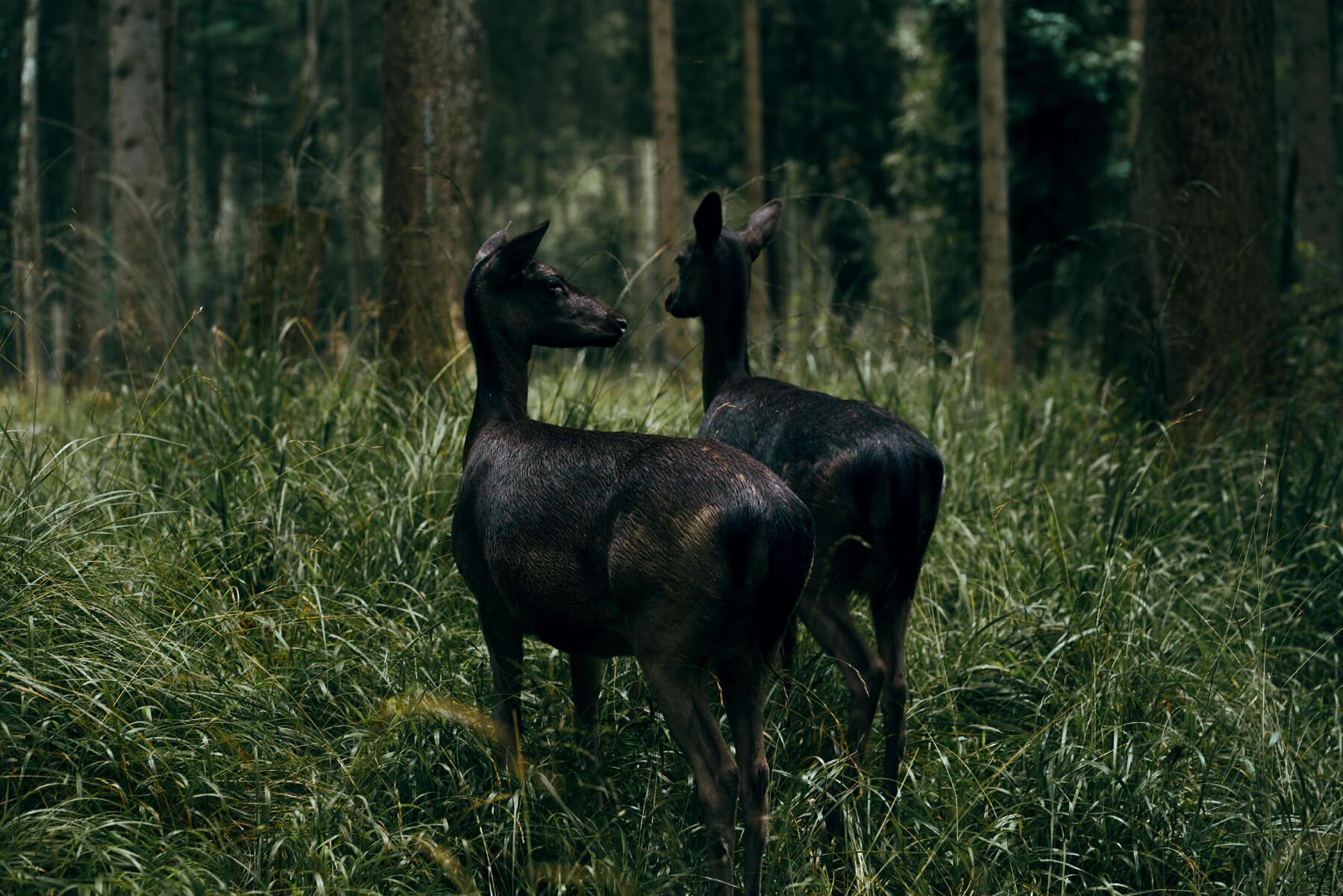 Nadja Ellinger - Path of Pins two black deer in the woods